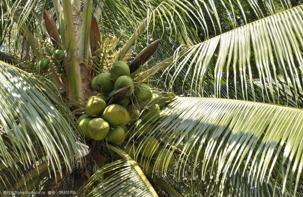 大王椰子冠幅_大王椰子树_大王椰子种植